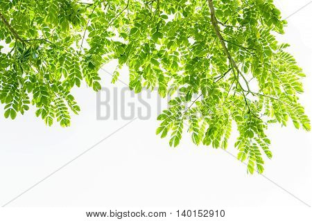 Green leaves , isolate on white background