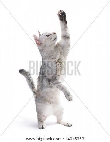 Playful cat with raised hand