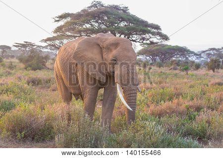 Elephant in Amboseli national park in Kenya.