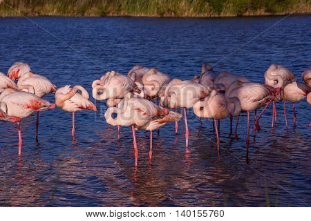 Evening in the National Park of Camargue, Provence, France. Large flock of pink flamingos. Exotic birds sleep at sunset