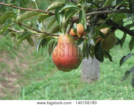 Red pears hanging on the tree . Tuscany Italy