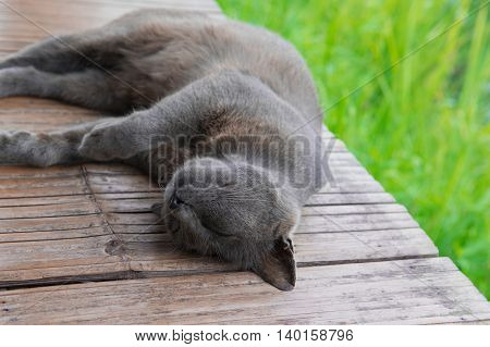 Sleeping Korat cat (thai cat) on the bamboo terrace