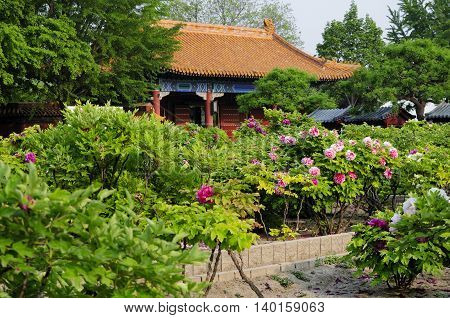 Tree peonies blooming in a garden within Jingshan Park in Beijing China.