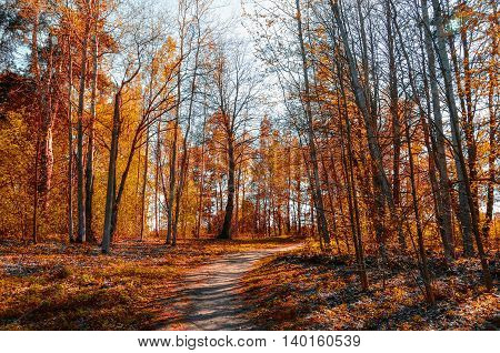 Forest sunny autumn landscape - row of autumn yellowed trees with autumn fallen leaves in the forest in sunny autumn weather vibrant landscape of sunny autumn nature. Soft filter applied