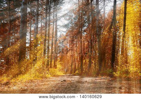 Forest sunny autumn landscape -row of autumn yellowed trees under autumn sunlight. Autumn red trees in the forest in sunny autumn weather picturesque landscape sunny autumn nature. Soft focus applied