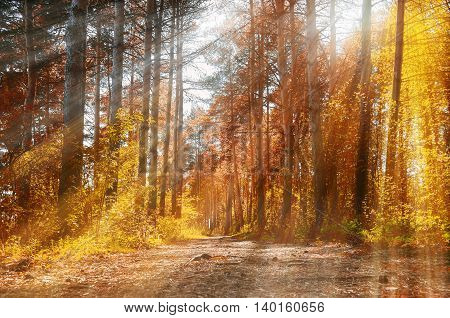 Forest sunny autumn landscape -row of autumn yellowed trees under autumn sunshine. Autumn red trees in the forest in sunny autumn weather pictorial landscape sunny autumn nature. Soft focus applied