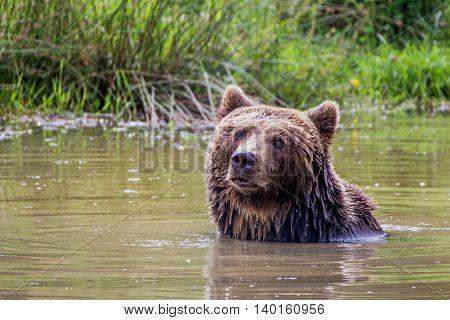 Portrait of a brown bear taking a bath