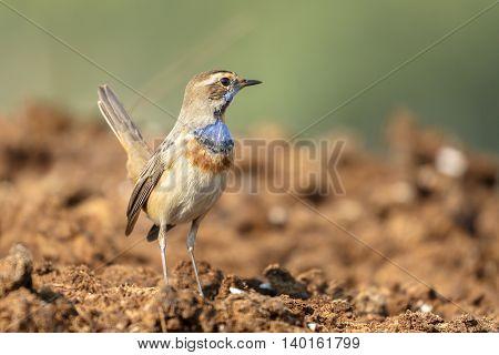 A Bluethroat in a farm in Bahrain