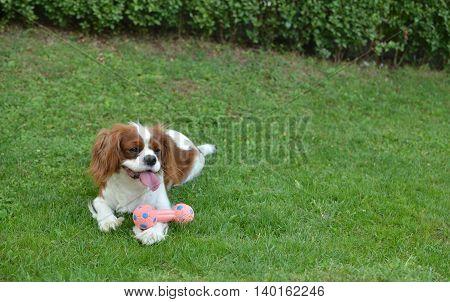 Dog Resting On A Lawn