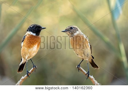 A pair of Siberian Stonechats (Male and Female) - Digitally merged image