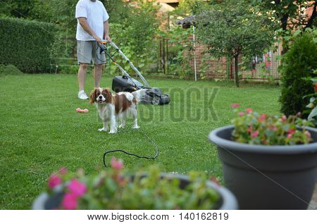 Man mowing a lawn and his beautiful dog Cavalier King Charles Spaniel Blenheim