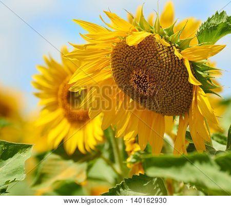 big sunflower in field closeup, beautiful summer landscape