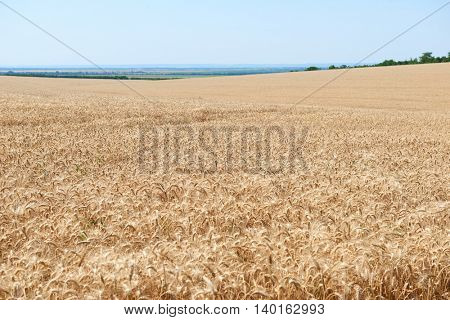 wheat field and clear sky, beautiful summer landscape