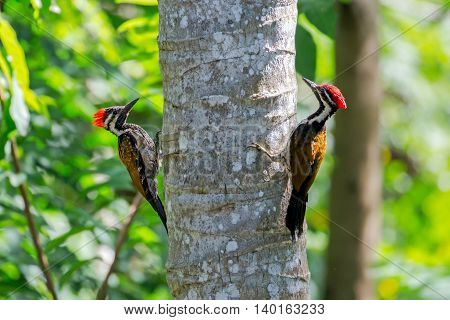 Two Black-rumped flamebacks or lesser golden-backed woodpeckers playing hide and seek on a coconut tree in Kerala, India