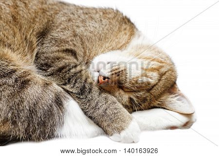 Closeup young short hair cat sleeping with his head on his paws. Isolated on white background.