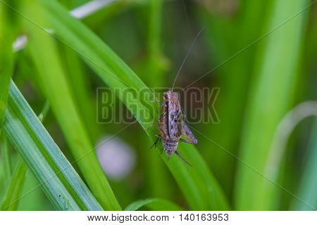 Close Up House Cricket (acheta Domestica)