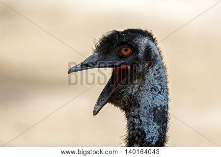 Head shot of an Emu or Dromaius novaehollandiae with desert background, Bahrain