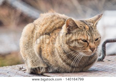 Brown fat cat sitting on the floor