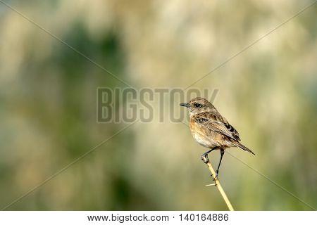 Siberian Stonechat or Saxicola Maurus (female) in a farm in Bahrain