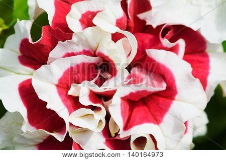 Petunia flower closeup wavy two-colored petals of pink and white