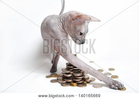 Cat Don sphinx playing with money, raking them yourself.