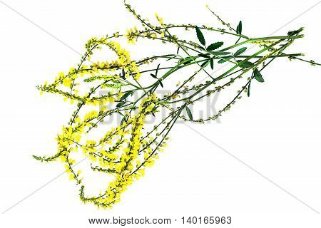Melilotus officinalis known as yellow sweet clover yellow melilot ribbed melilot and common melilot isolated on white background. Used in herbal medicine as well as pasture or livestock feed is a major source of nectar