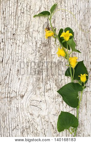 Blooming Thladiantha Dubia or Manchu tubergourd goldencreeper on the old wooden textured background with space for text. Vertical