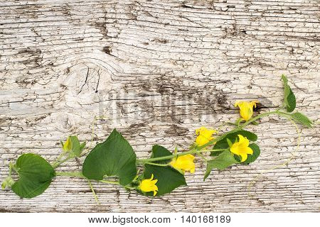 Blooming Thladiantha Dubia or Manchu tubergourd goldencreeper on the old wooden textured background with space for text