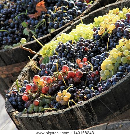 Harvesting grapes: Ripe grapes inside a bucket