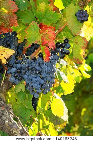 Harvesting grapes: black grapes and colorful leaves