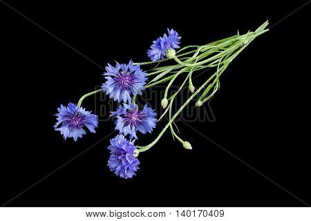 Medicinal plant Centaurea cyanus commonly known as cornflower isolated on a black background