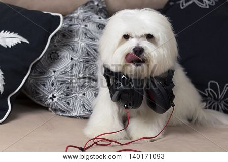 Cute maltese dog with headphones sitting on a couch