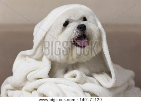 Angel dog. Adorable maltese dog wrapped on a white blanket