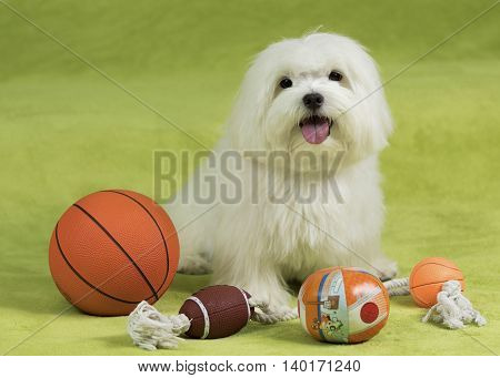 Cute maltese dog with toys on a green blanket