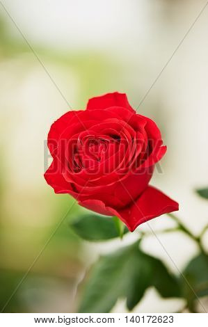 Blooming red Hybrid Tea rose on a green background. Climbing