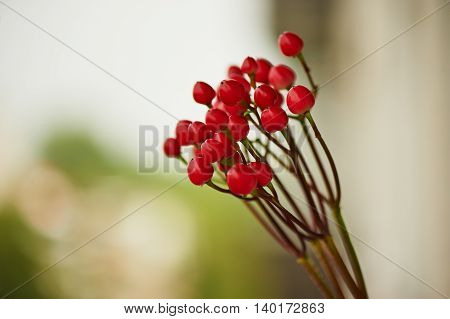 Red Hypericum berries for floral arrangements. Close