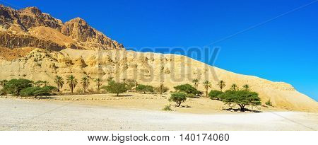 The massive yellow desert rock with the green palms at its foot Ein Gedi Israel.