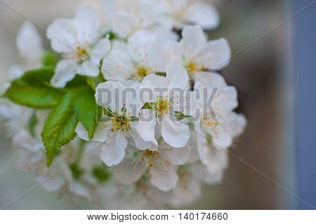 photo of blossoming tree brunch with white flowers.