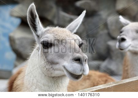 View of Lama in zoo at day