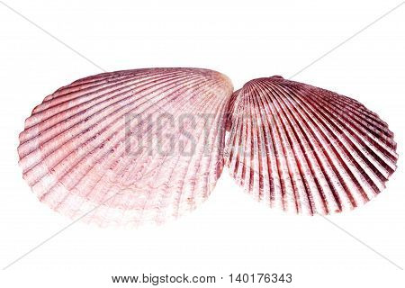 Two sea shells of mollusk isolated on white background close up
