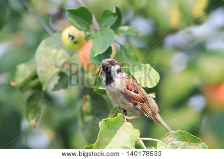 Sparrow sitting on the branches with ripe apples and eats blacksmith