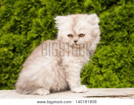 Portrait of persian cat kitten sitting in the garden