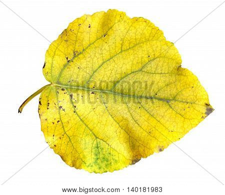 yellow and green huge poplar leaves fresh with streaks