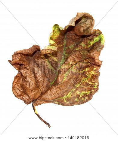 dried up a huge crumpled brown with golden and green-veined leaves of poplar