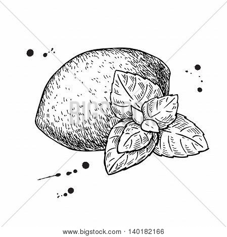 Vector lemons and mint. Isolated drawing on white background. Hand drawn illustration. Whole fruit and mint leaves sketch. Detailed illustration
