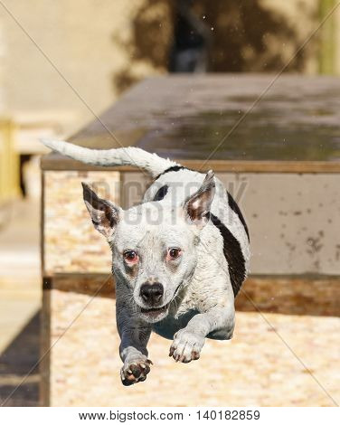 Dog in mid-air jumping into a swimming pool
