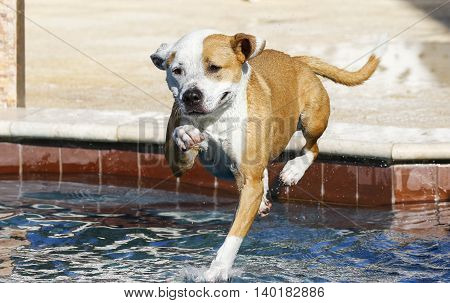 Pitbull jumping and landing in the swimming pool