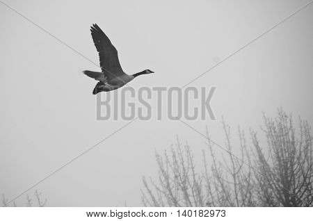 Canada Goose Flying Silently in the Morning Fog