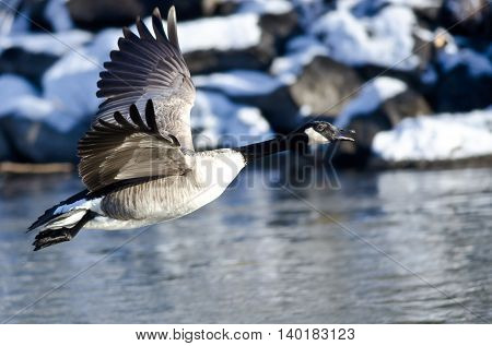 Canada Goose Flying Across the Snowy Winter Terrain