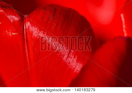 Nature Abstract: Close Look at the Rich Red Tulip Petals of Spring